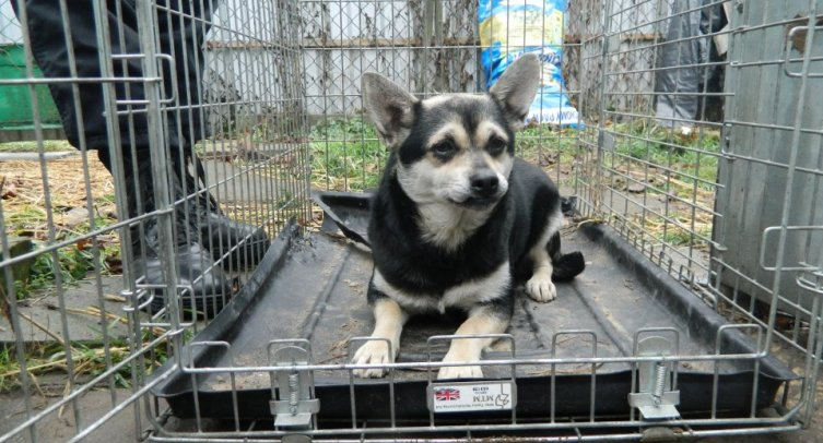 Pies odłowiony w Złotowie – fot. archiwum Straży Miejskiej w Barcinie